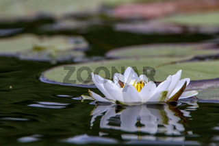 White water lily in water.