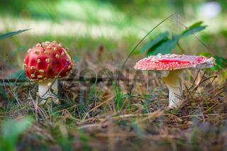 Autumn mushroom Amanita muscaria.