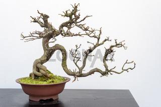 Chaenomeles bonsai tree againt white wall