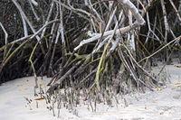 Atemwurzeln (Pneumatophoren) der Schwarzen Mangrove (Avicennia germinans)