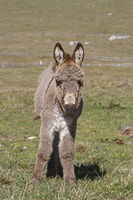 Little donkey on the Vezzena pass