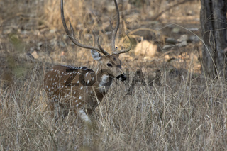 Male Chital or spotted deer which goes along the high dry grass at the edge of the forest