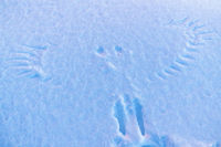 BIrd tracks  in snow, Hasvik, Soeroeya Island, Finnmark, Norway