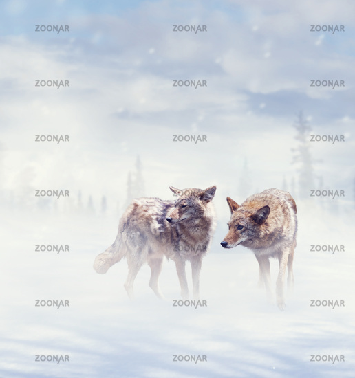 coyotes walking  in the winter