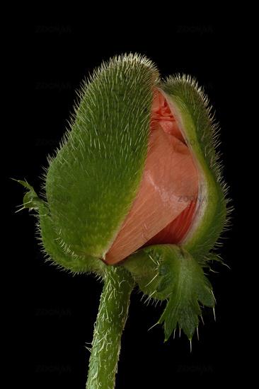 Poppy-seed (Papaver)