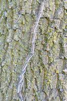 Inline row of walking oak process caterpillars