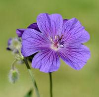 Storchschnabel; Geranium; magnificum