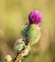 a close up of a marien thistle