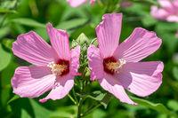 mugunghwa hibiscus syriacus