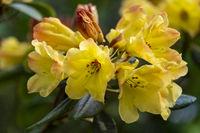 Rhododendron mit gelben Blueten