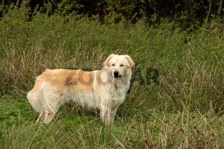 Carpatin mix, Herdenschutzhund