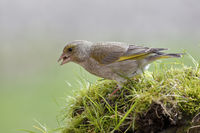 Greenfinch while eating
