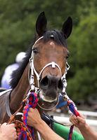 Portrait of a brown akhal-teke horse close-up.
