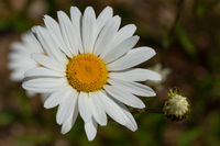 Common daisy, Leucanthemum vulgare