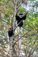family of Colobus guereza, Ethiopia, Africa wildlife