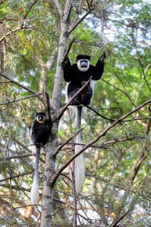 family of Colobus guereza, Ethiopia, Africa wildlife