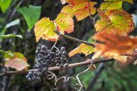 Ripe Isabella grape