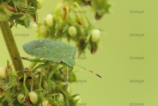 Larva of a green stink bug