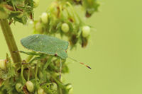 Larva of a green stink bug