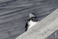 Baby bird of swallow sits on sunlit wooden beam