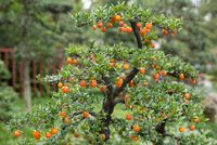 Bonsai with orange fruits in a park