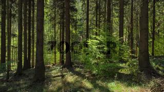 Deister - Fichtenwald mit Buche, Deutschland