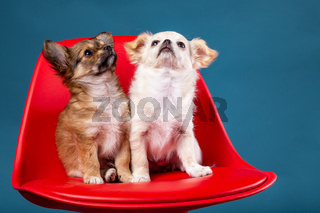Studio shot of a Chihuahua puppys on red seat