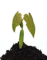 Ahornsproessling, Ahorn, Acer