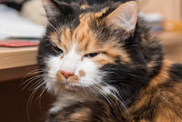 Cat with tricolor soft fur - Portrait of a domestic cat