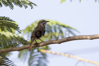 Spotted morning-thrush that sits on an acacia tree in the shade of a leaf on a hot African day