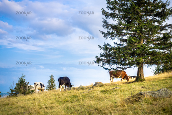 some cows in the meadow