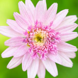 Pink marigold flower