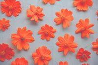 Orange cosmos flower
