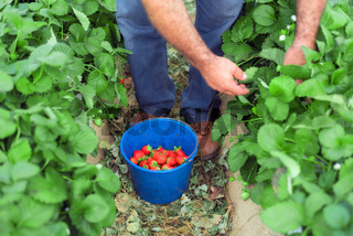 Farmer picking strawberries in a greenhouse