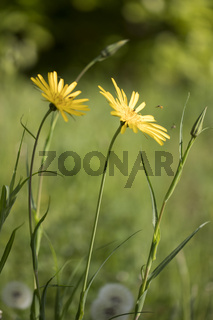 Wiesen-Bocksbart, Tragopogon pratensis, meadow salsify