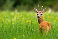Roe deer buck looking behind on a green meadow with yellow flowers in summer.