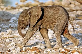 Sehr junger Elefant, Etosha-Nationalpark, Namibia, (Loxodonta africana) | very young elephant, Etosha National Park, Namibia, (Loxodonta africana)
