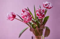 Bouquet of tulips in a glass vase on a pink background