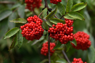 Roter Holunder, Trauben-holunder, Sambucus racemosa