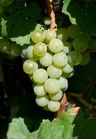 Scheurebe; Weisswein; Weintraube