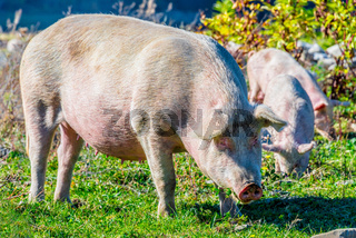 Freely grazing pigs on a traditional organic farm.