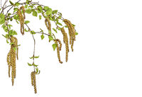 Birch twigs with young spring leaves and seeds isolated on white background