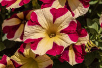 beautiful flower in red and yellow colours