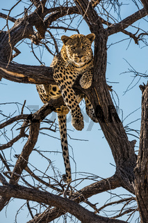 African leopard after feeding