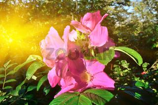 Schöne rosa Blumen rose in der hellen Sonne nahaufnahme