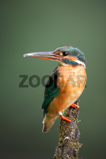 Common kingfisher sitting on a moss covered perch with little fish in a beak