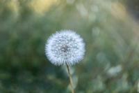 Dandelion seeds head