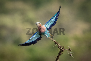 Lilac-breasted roller takes off from thorny branch