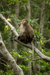 Long-tailed macaque sits in tree turning head