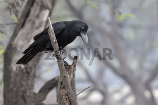 Indian Jungle Crow sitting on a dry branch at the edge of a forest grove on a winter day